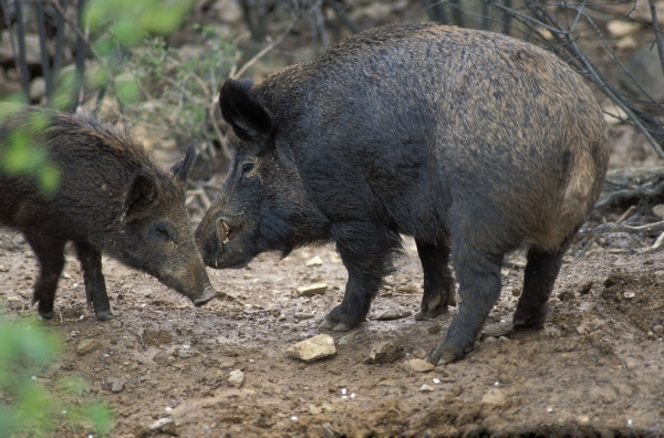 Cinghiale (Sus scrofa - M. Campora/Panda Photo)