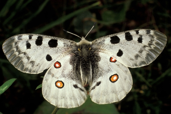 Farfalla apollo (Parnassius apollo - F. Roma/Panda Photo)